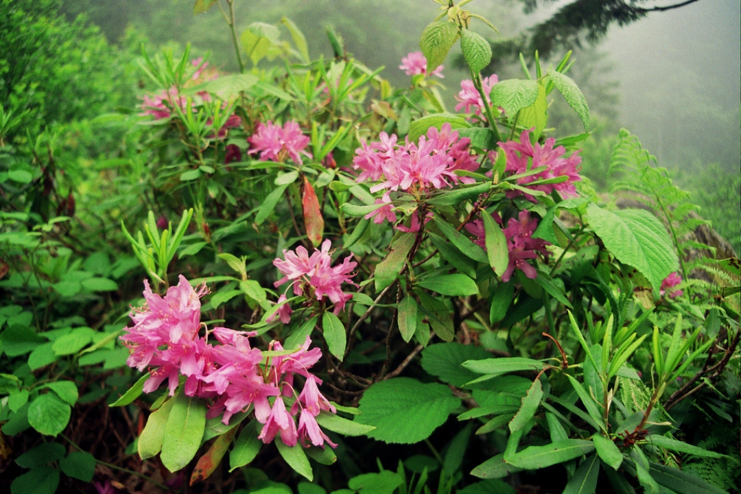 Common rhododendron