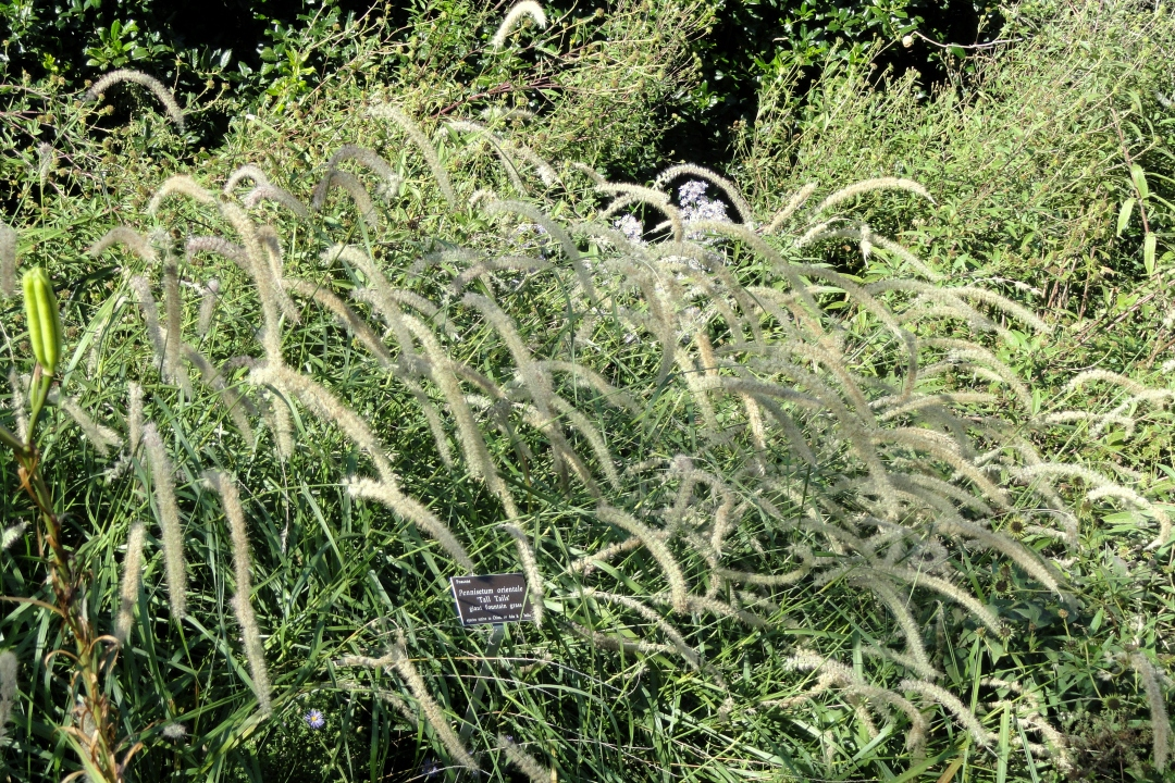 Oriental fountain grass 'Tall tails'