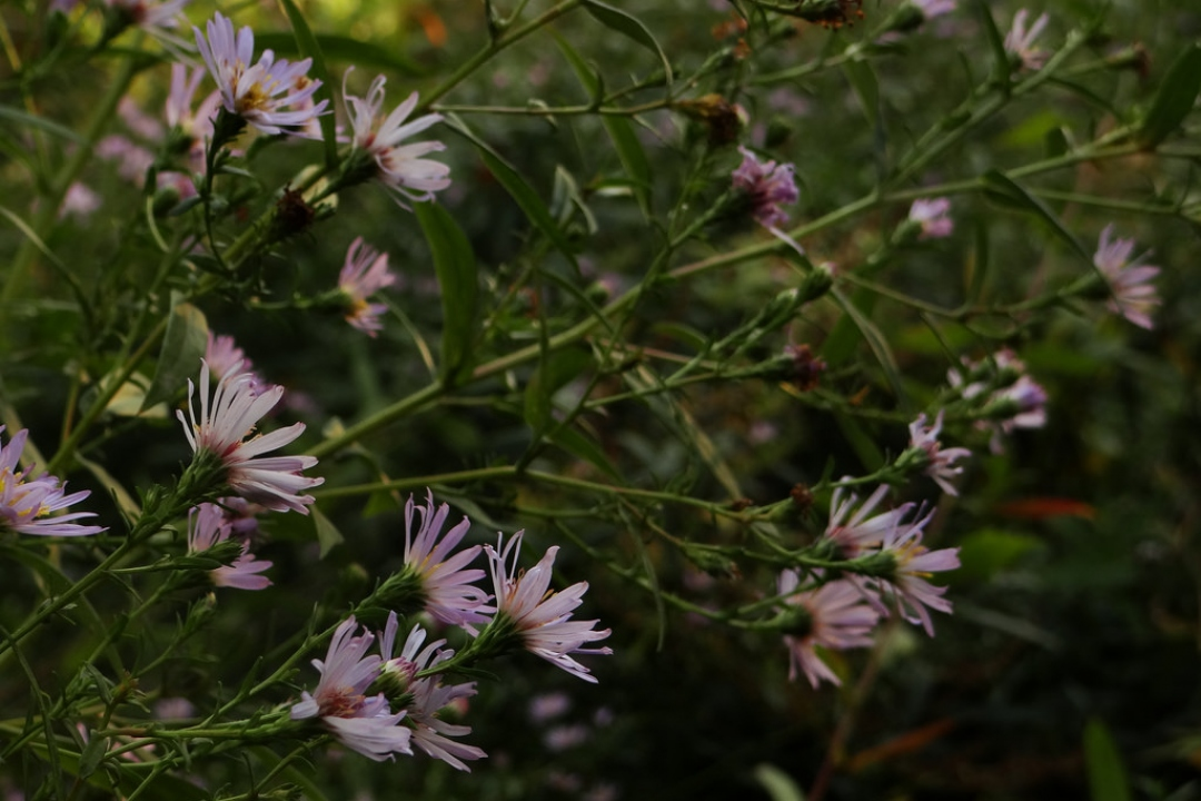 European Michaelmas-daisy