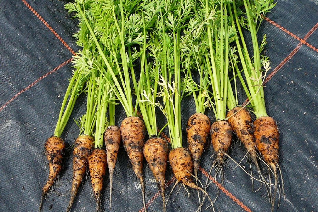 Carrots 'Chantenay'