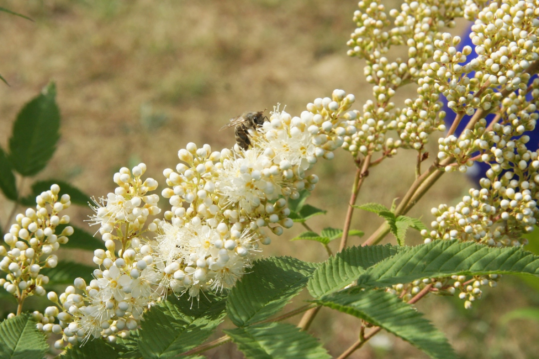 False spiraea