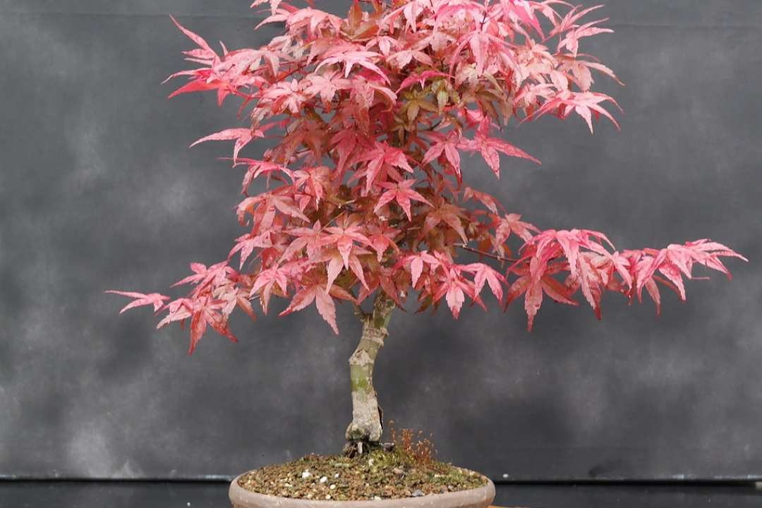 Japanese Maple 'Deshojo'