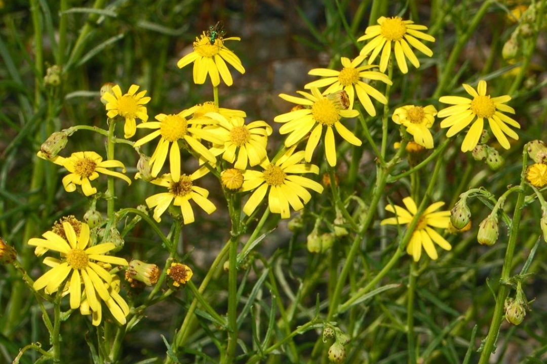 South African ragwort