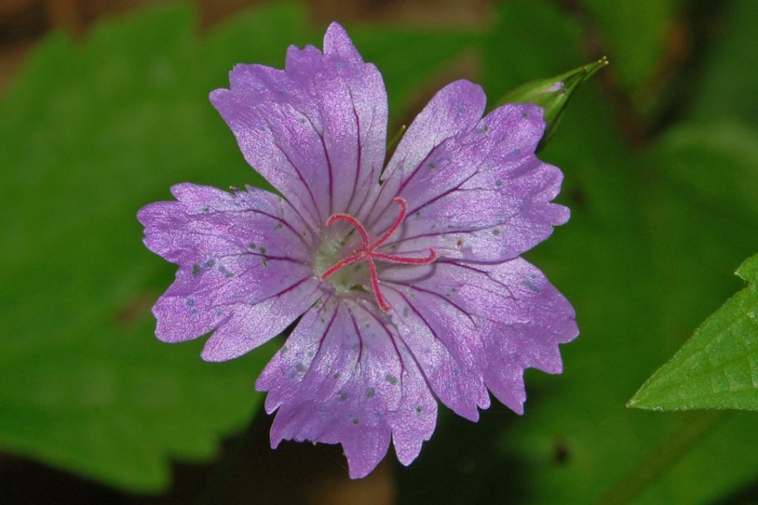 Knotted crane's-bill