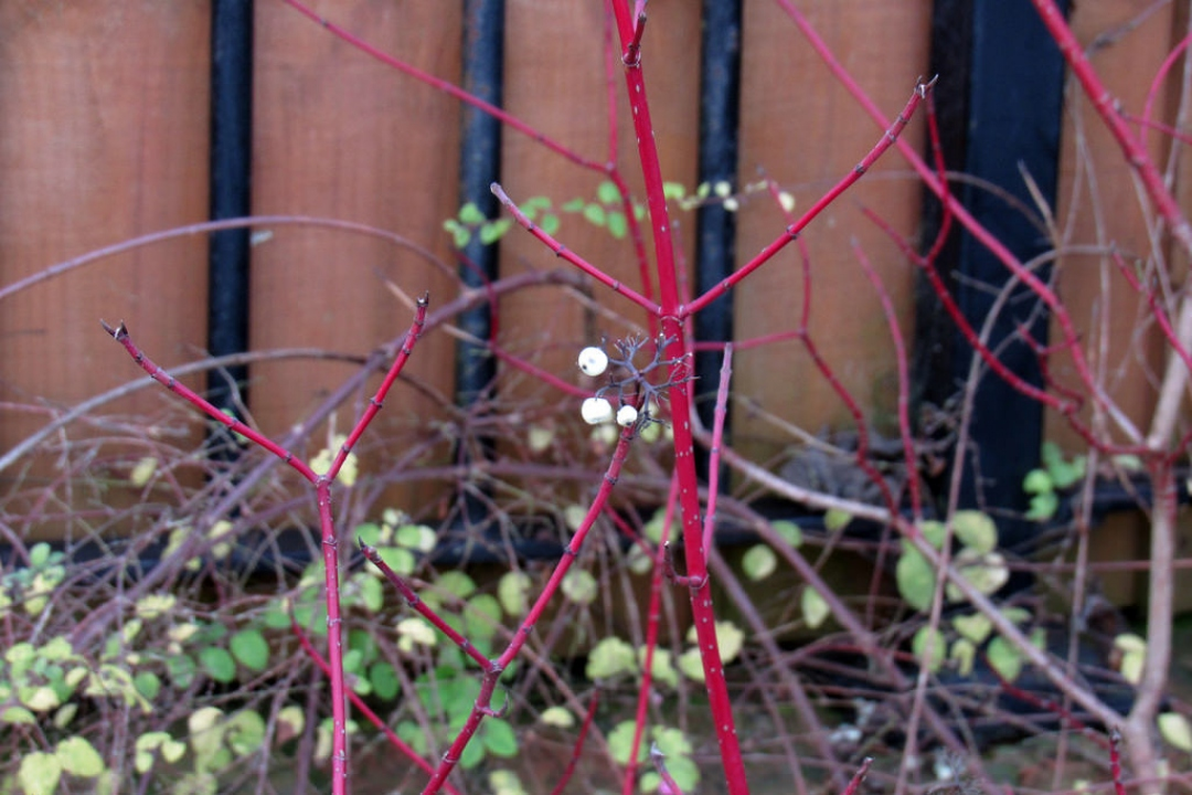 Red Barked Dogwood