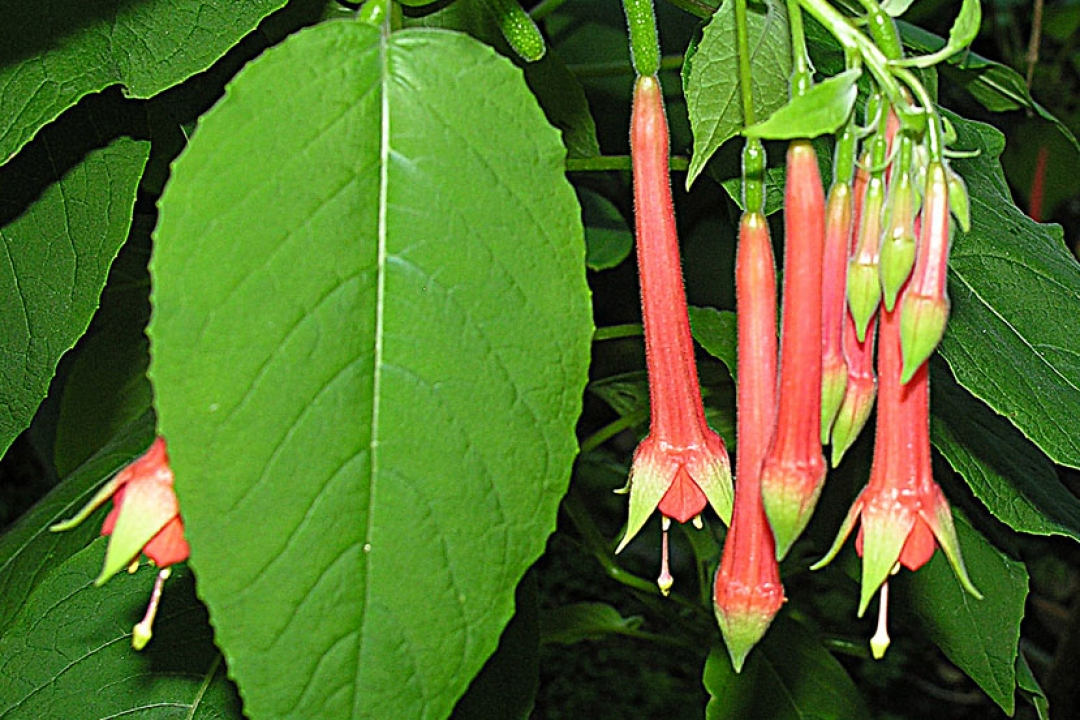 Fuchsia du Mexique