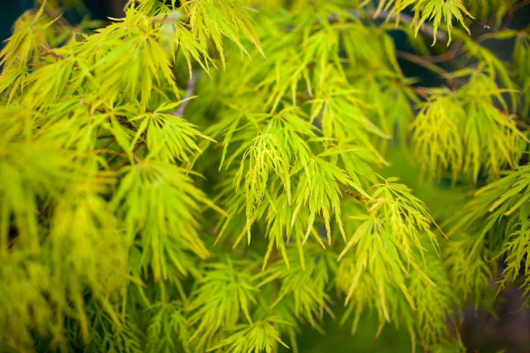 Japanese Maple 'Dissectum'