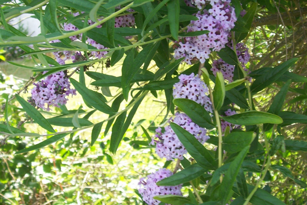 Alternate-leaved butterfly-bush