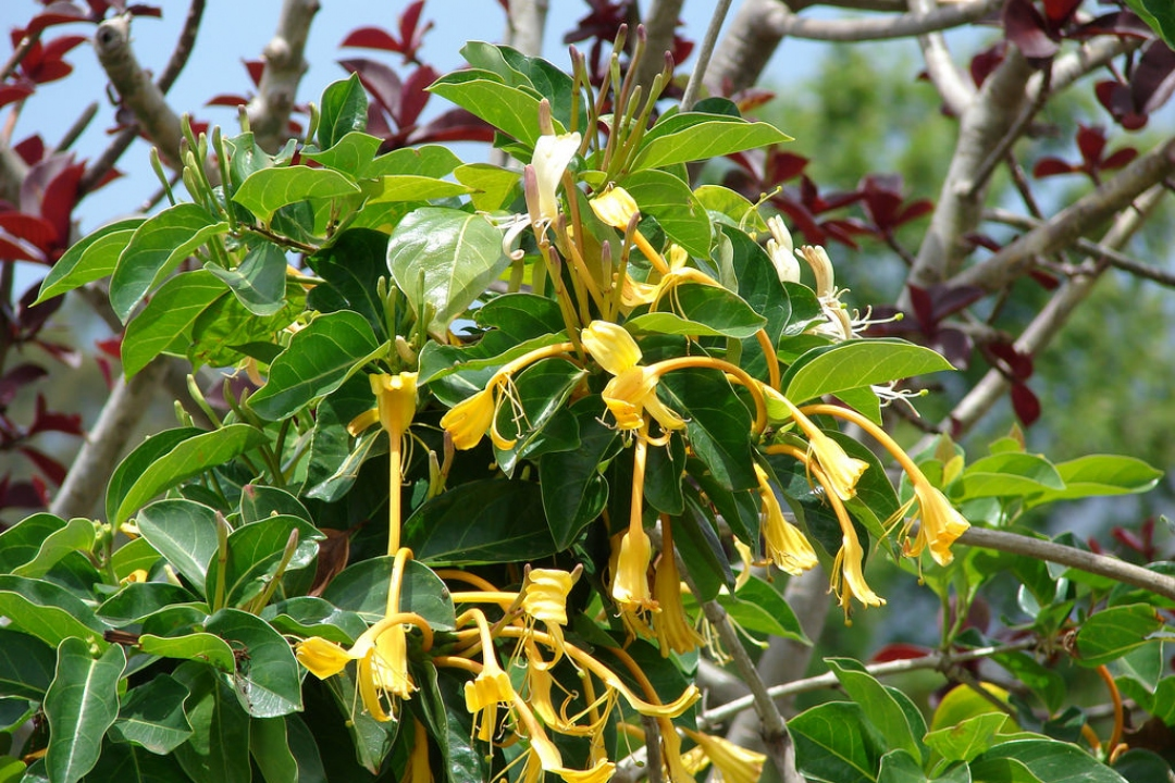 Giant Honeysuckle