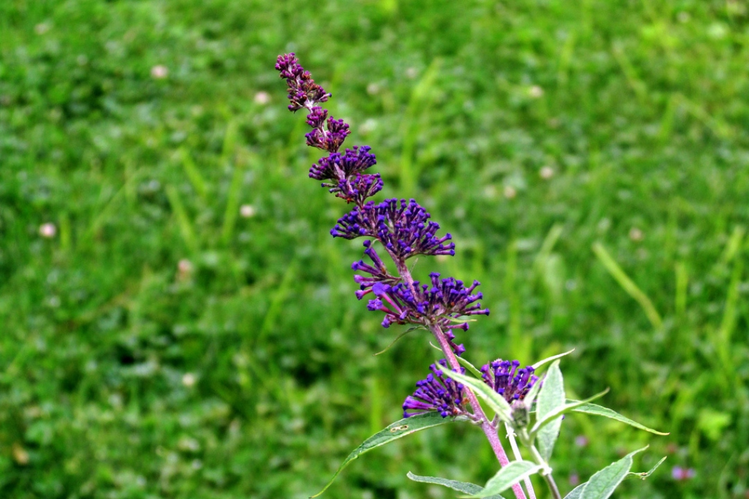 Butterfly bush 'Nanho Blue'