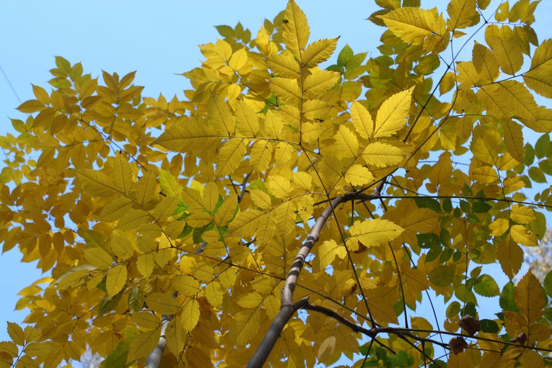 Golden Rain Tree