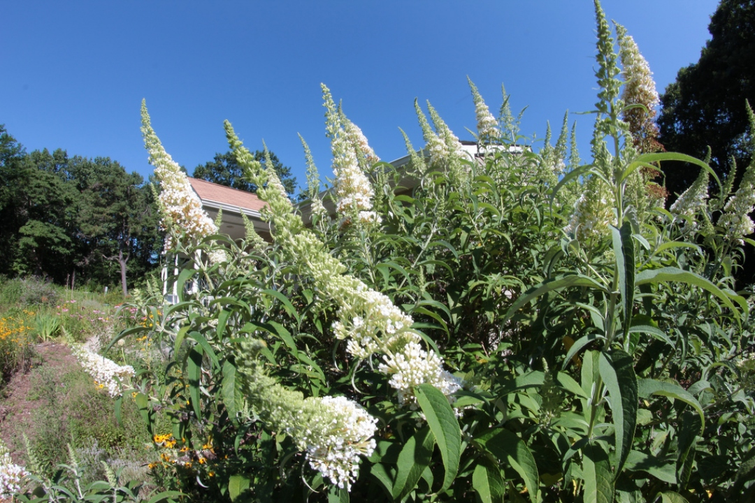 Buddleia 'White Profusion'
