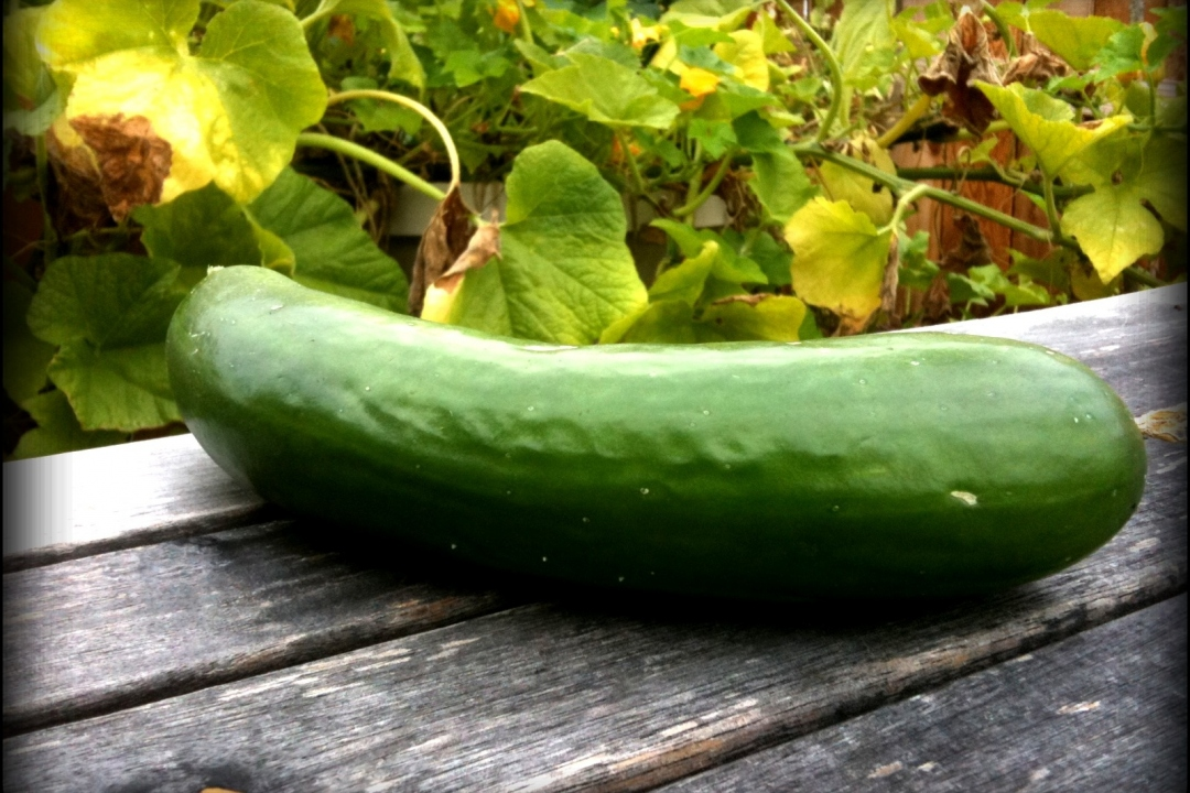 Cucumber 'Early fortune'