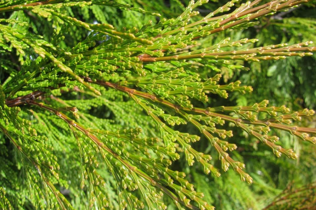 Incense cedars
