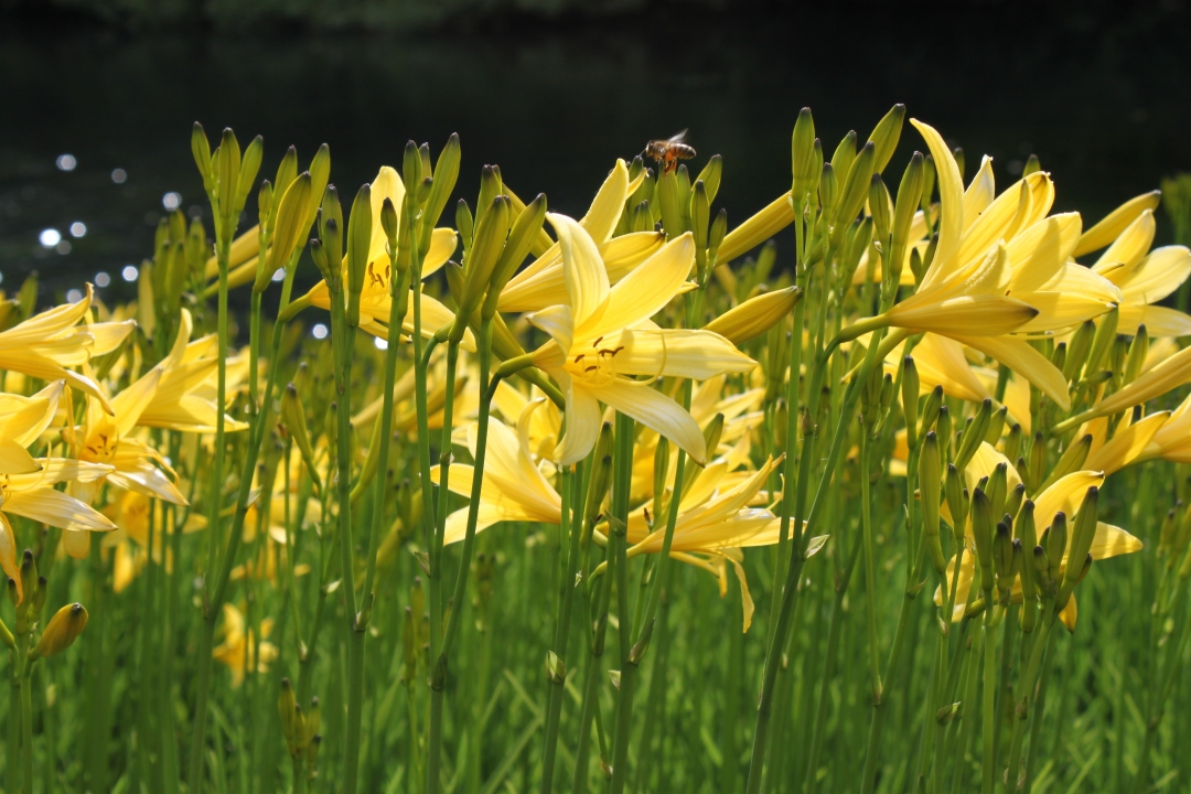 Common Yellow Day Lily