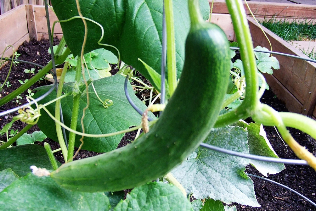 Cucumber 'Long English'