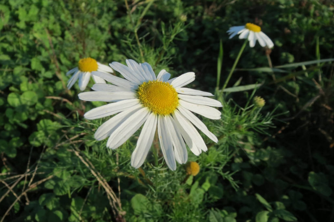 False mayweed