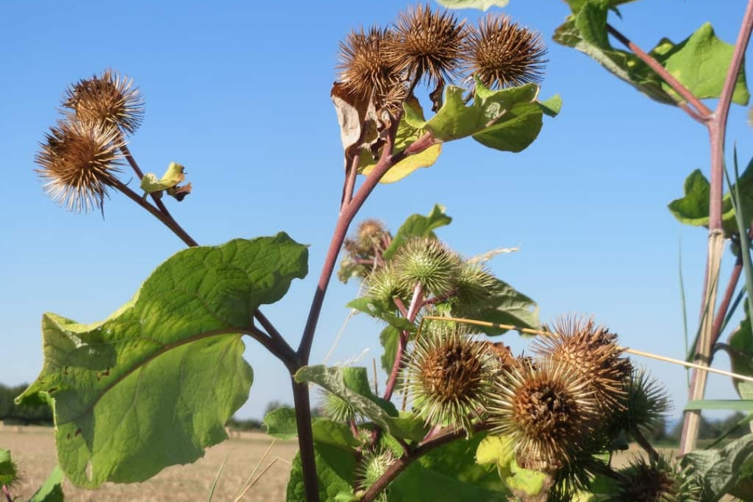 Greater burdock