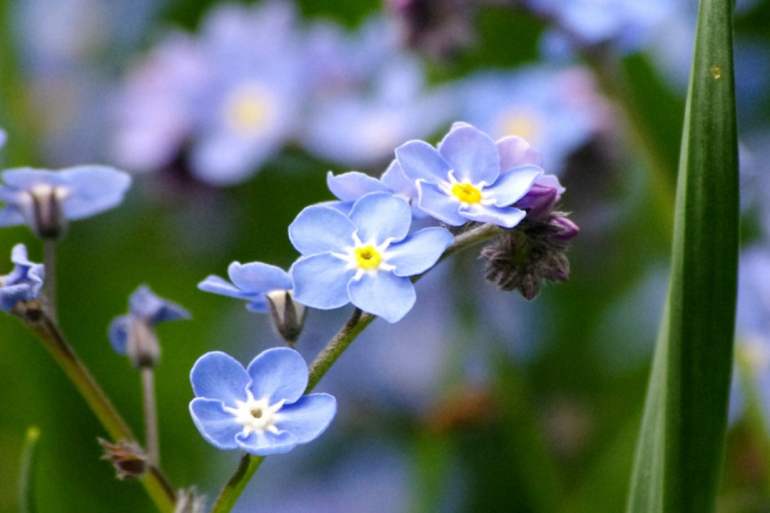Field forget-me-not