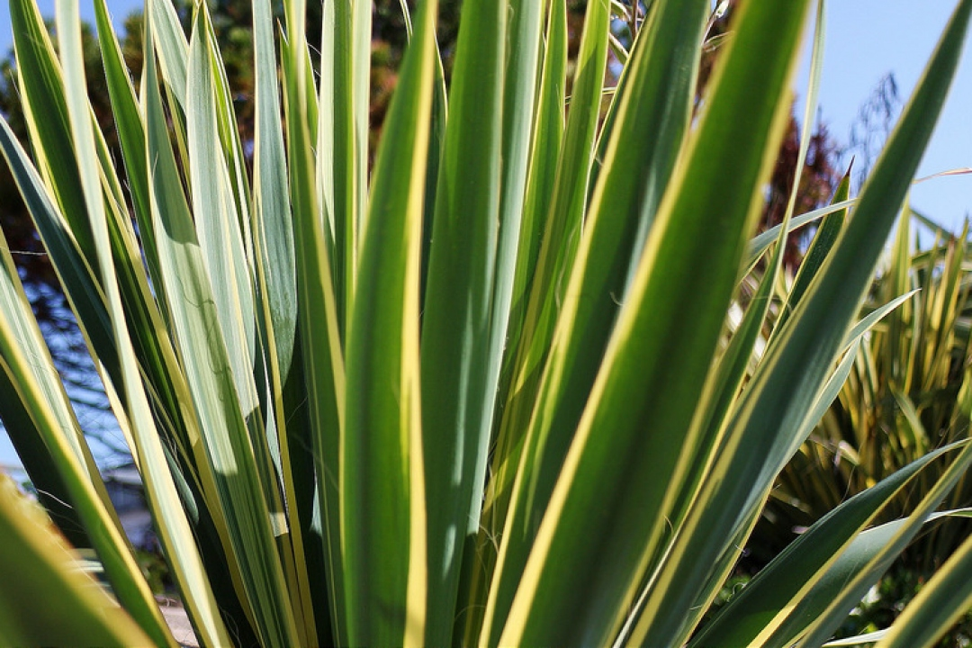 yucca palm yellow leaves