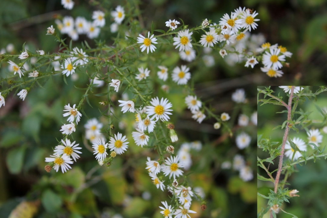 Aster fausse bruyère