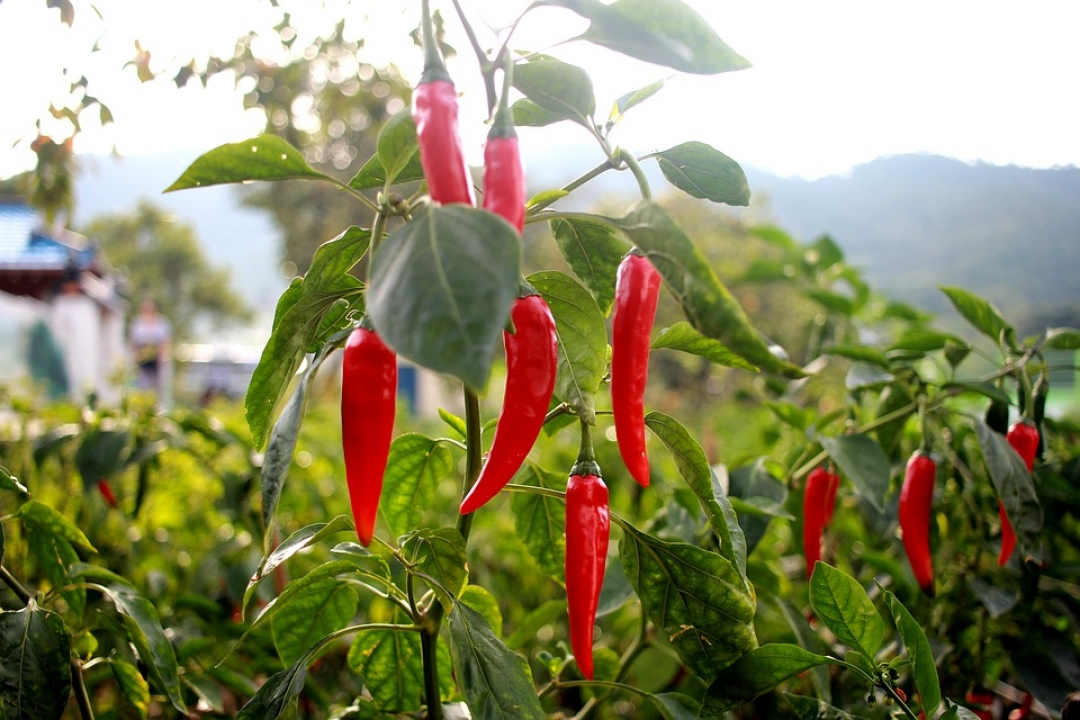 Chili Peppers 'Cayenne'