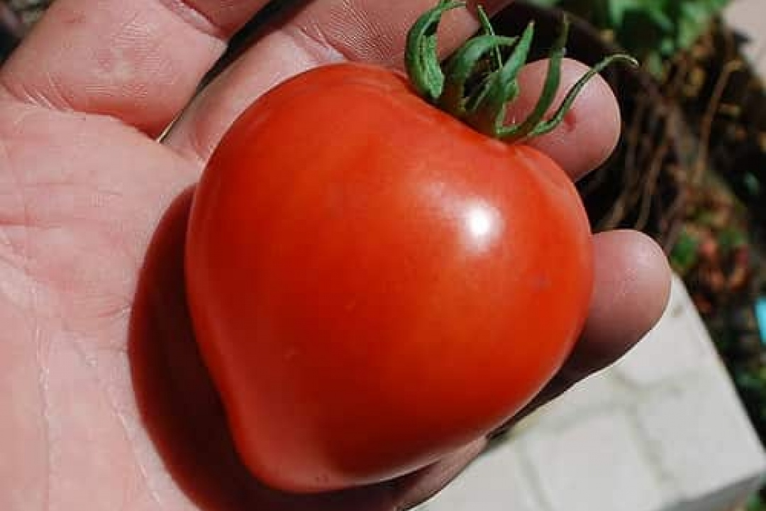 Tomatoes 'Roma'