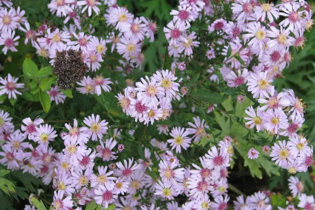 Aster (group 3)