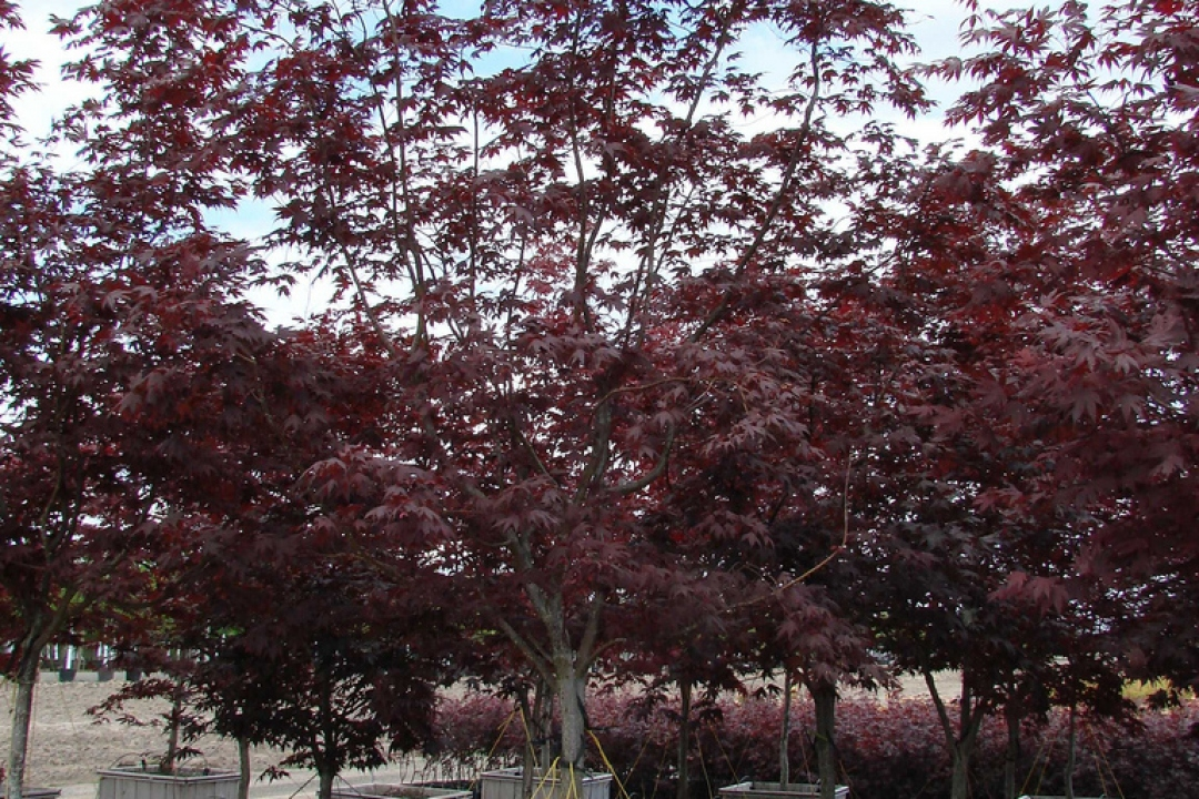 Japanese Maple 'Bloodgood'