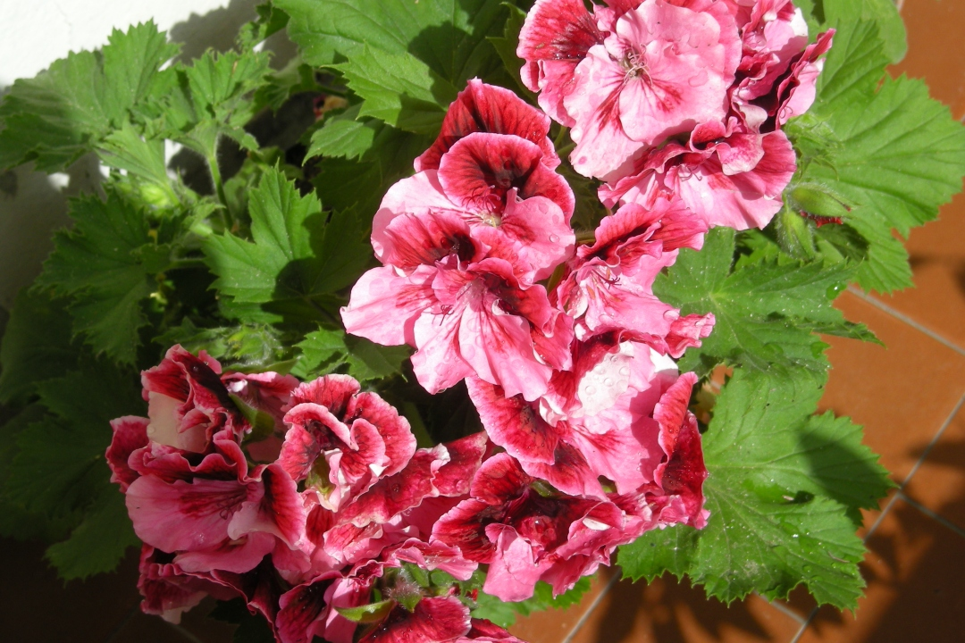 Large-flower pelargonium