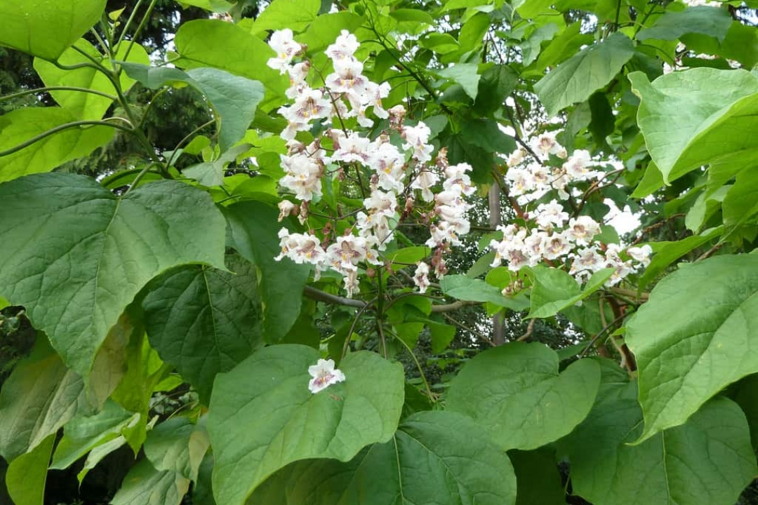 Indian Bean Tree