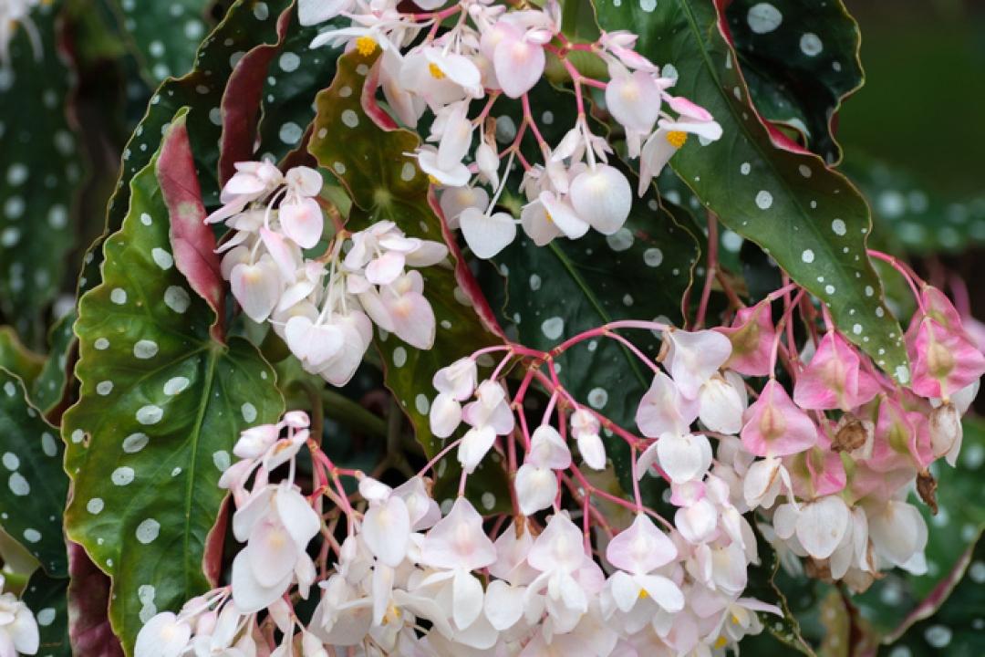 Polka Dot Begonia Begonia Maculata Growing Planting Caring