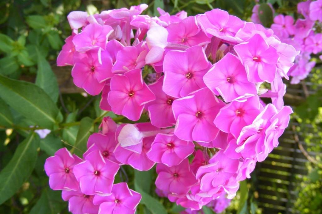 Fall phlox 'Summer candy'