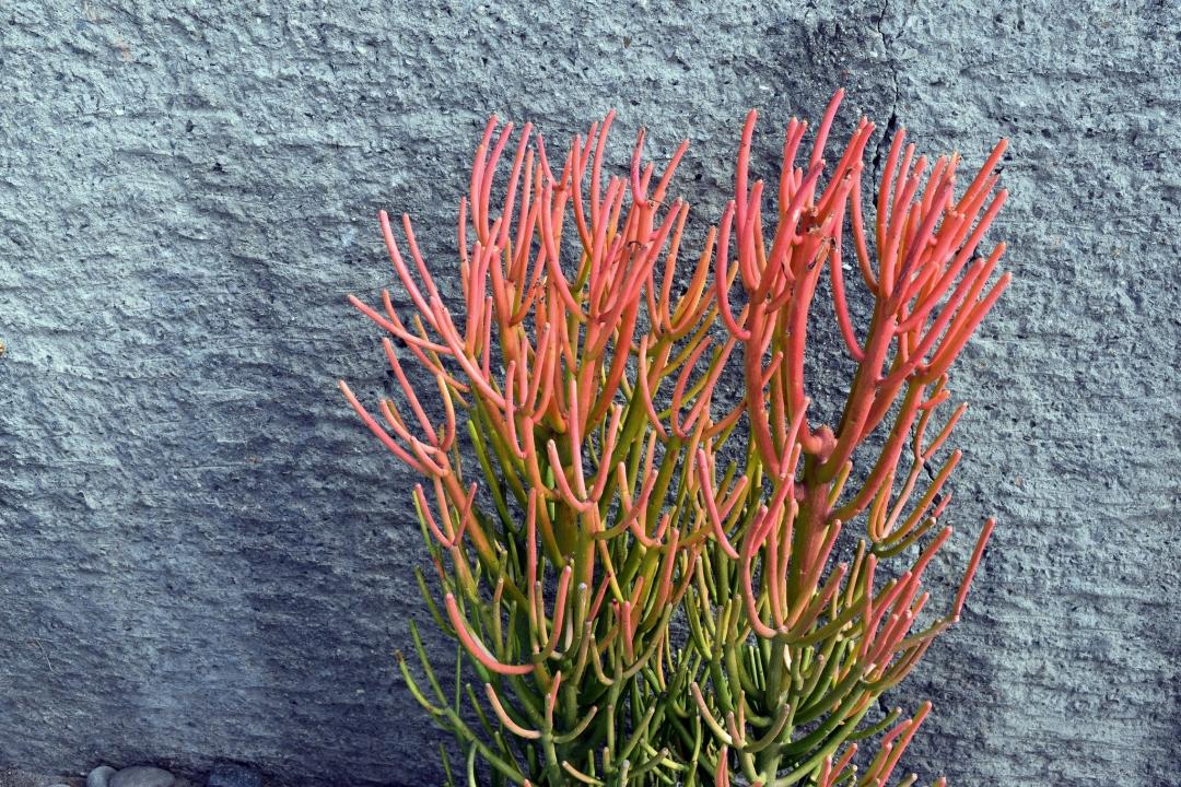 Firestick Plant Euphorbia Tirucalli Growing Planting Caring