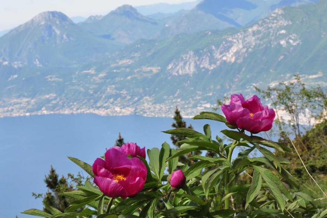 Pivoine officinale