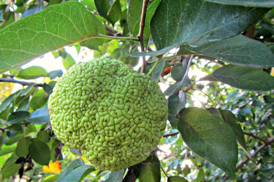 Oranger Des Osages Maclura Pomifera Culture Plantation Entretien