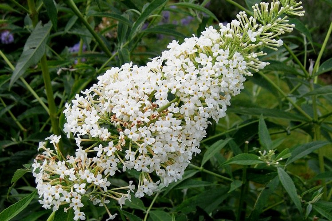 Buddleia 'White chip'
