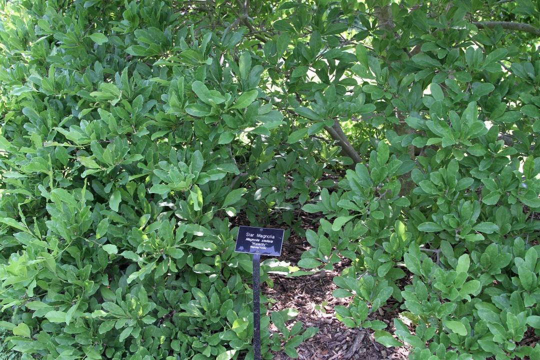 Star Magnolia Magnolia Stellata Growing Planting Caring