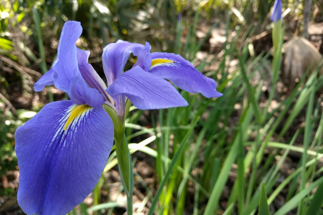 Iris de Louisiane