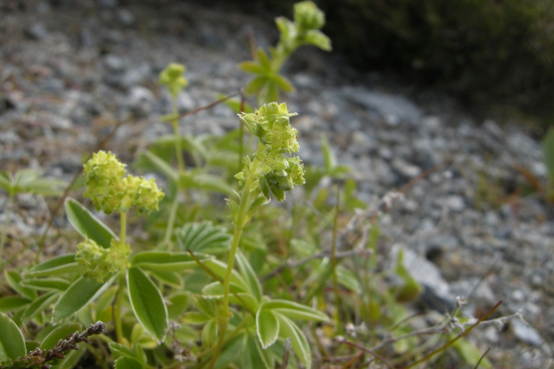 Alpine lady's-mantle