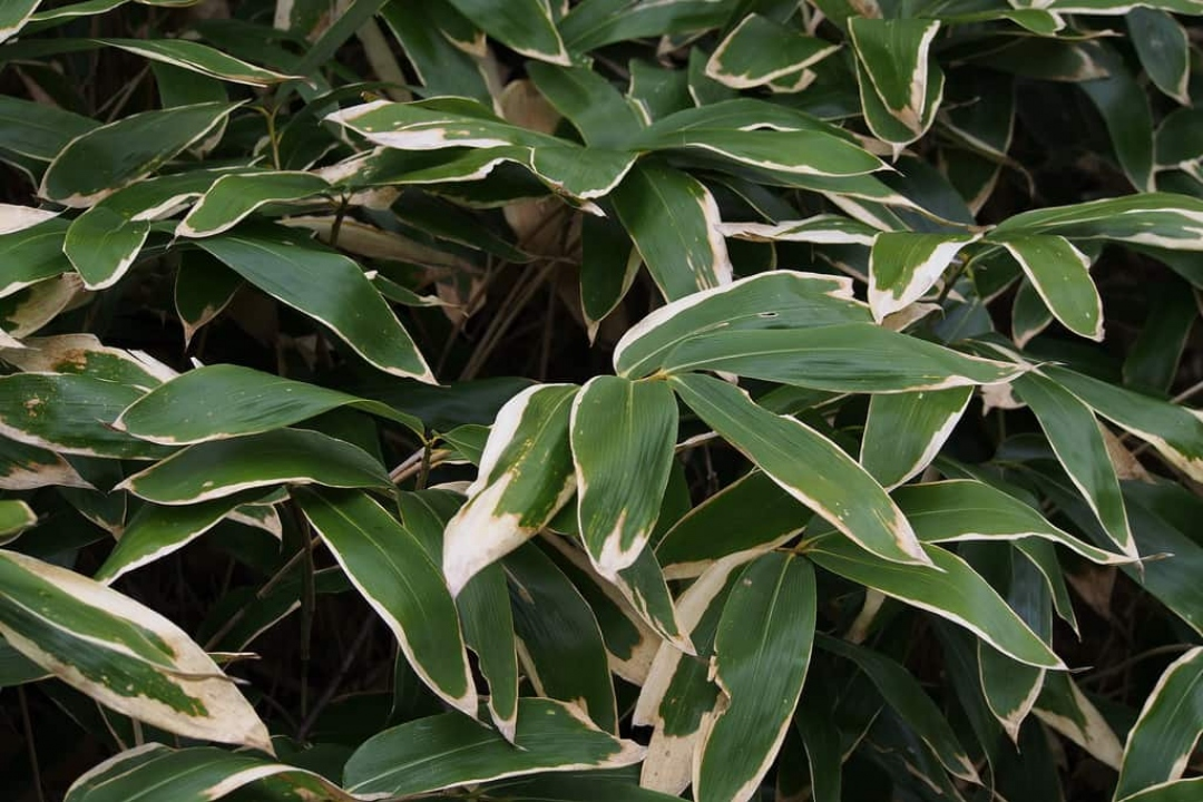 Broad-leaf bamboo