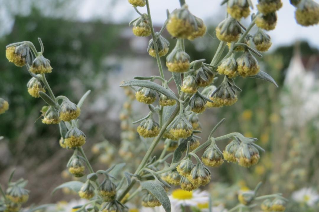 Absinthe (Artemisia absinthium): growing, planting, caring