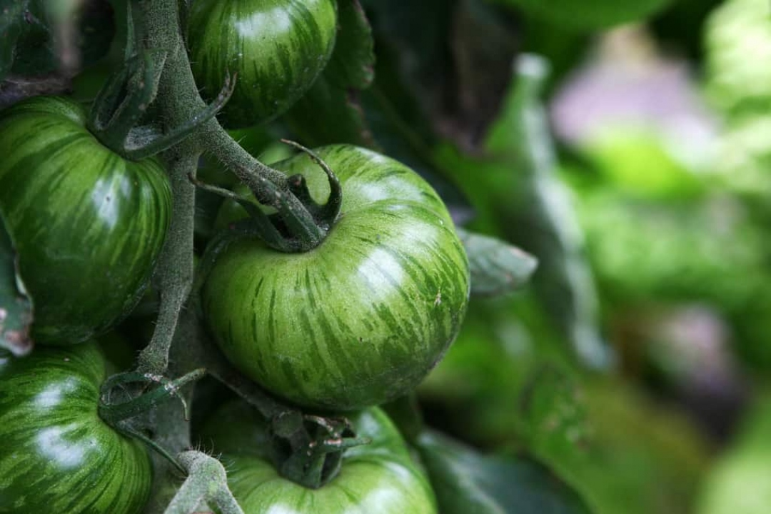Tomatoes 'Green Zebra'