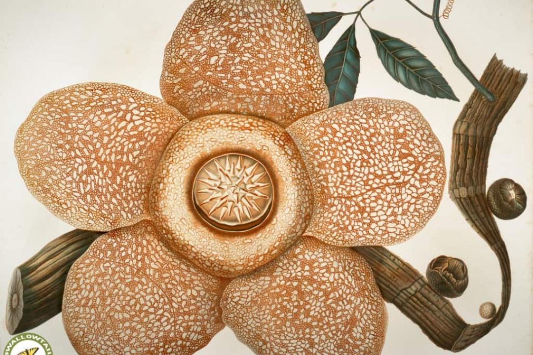 Rafflesia Rafflesia Arnoldi Growing Planting Caring