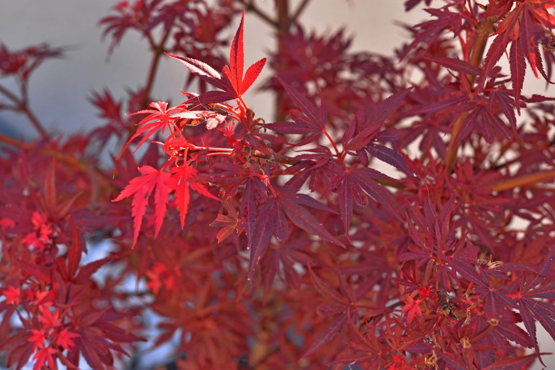Japanese Maple 'Shaina'