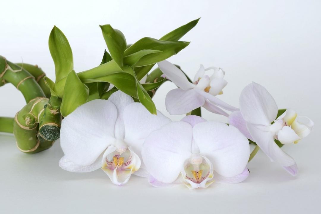 Orchidée bambou (Dendrobium nobile): culture, plantation ...