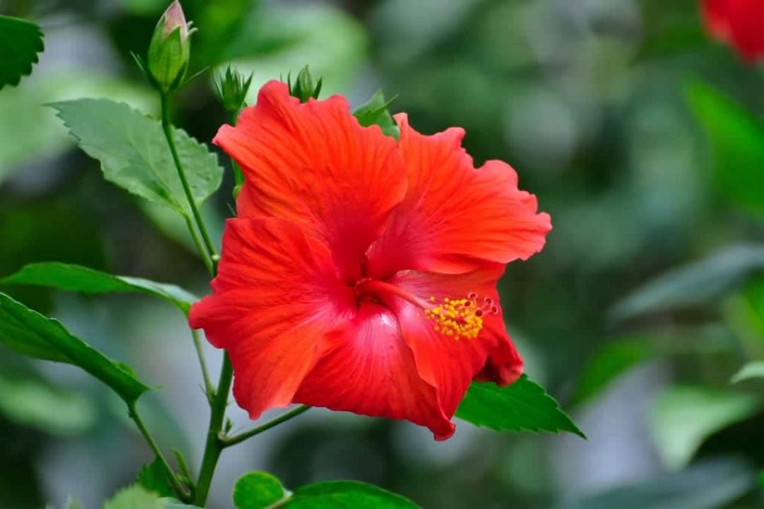 Hibiscus Dintérieur Hibiscus Rosa Sinensis Culture Plantation
