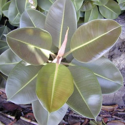 Caoutchouc (Ficus elastica): culture, plantation, entretien.