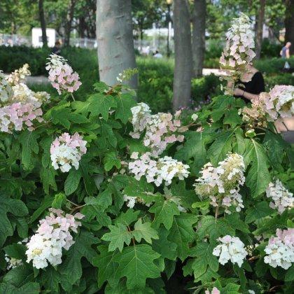 foto de Hortensia à feuilles de chêne (Hydrangea quercifolia